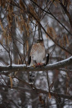 "Scott tweeted us, ""Here's a Red tailed hawk eating a Junco he took from my feeder."""