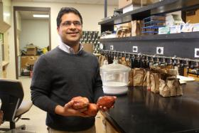 Iowa State University horticulture professor Ajay Nair grew sweet potatoes on a university farm to gauge their viability in the Midwest.