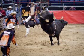 Professional Bull Riders are judged for the amount of time they stay on the bull; the bull is judged, too, for torque of his twists, and the angle and height of his kicks.
