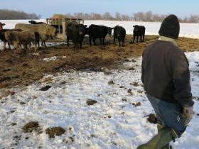 Mervin Graber of checks on his small herd of grass-fed cows in his pasture near Sullivan, Ill.
