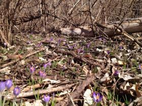 "Spring is here when you see the ""first wild crocus in the woods (taken last week),"" @kctomato tweets."