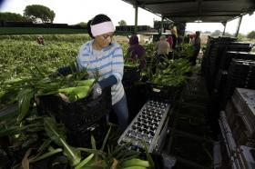 Migrant workers harvest corn on Uesugi Farms in Gilroy, Calif., last summer