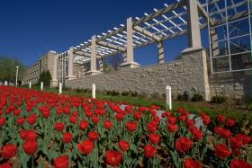 Tulips bloom along the edge of the Rockhurst University campus.
