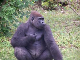 Sitting Gorilla at the Kansas City Zoo