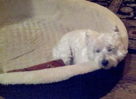 Blaire, a West Highland terrier, was 13 years old when her owners decided to put her down in early July.
