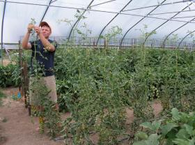 Farmer John Curtis grows tomatoes in the hoop house at Barefoot Gardens CSA in Macomb, Ill.