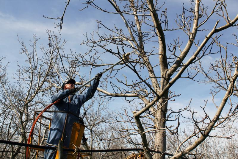 A worker at Dixon Ridge Walnuts in Lodi, Calif., prunes a tree.