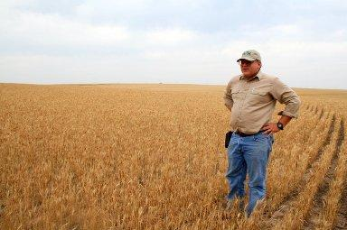 Western Kansas farmer John Thaemert stands in a field of parched wheat.   The plants would reach his waist by now in a normal year.