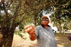 Talmadge West plucks a walnut from a tree on his farm in Hayti, MO on Wednesday, August 25.