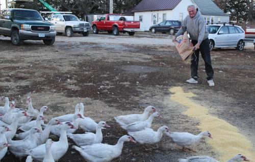 Ron Bartlet feeds the ducks he keeps on his small Iowa farm.