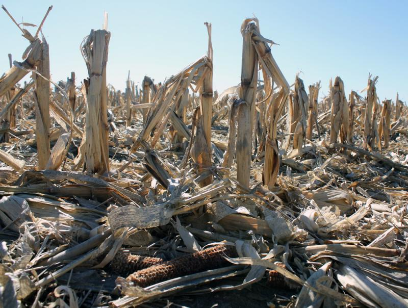 Corn stalks, leaves and cobs like these at the Kansas State Southwest Research and Extension Center in Garden City, Kan., can be harvested as biomass.
