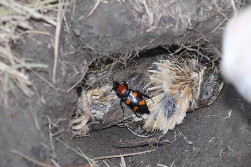 The beetles were buried with their food source, a bird carrion.