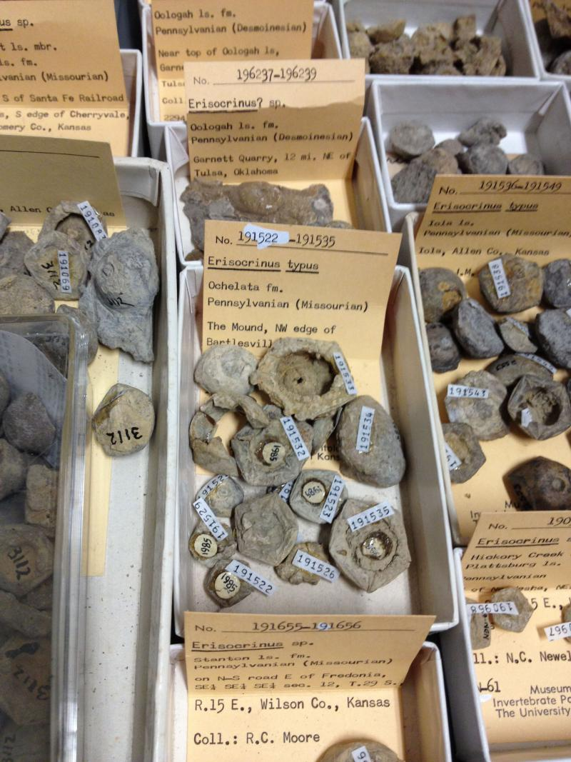 A sample of KU's crinoid fossils.