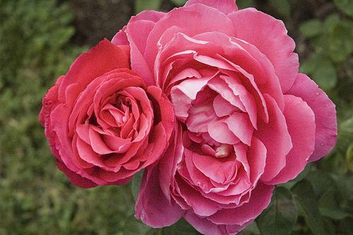 Rose at Loose Park.