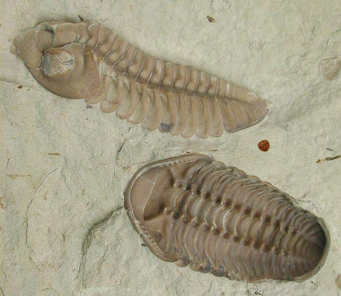 Example of a trilobite