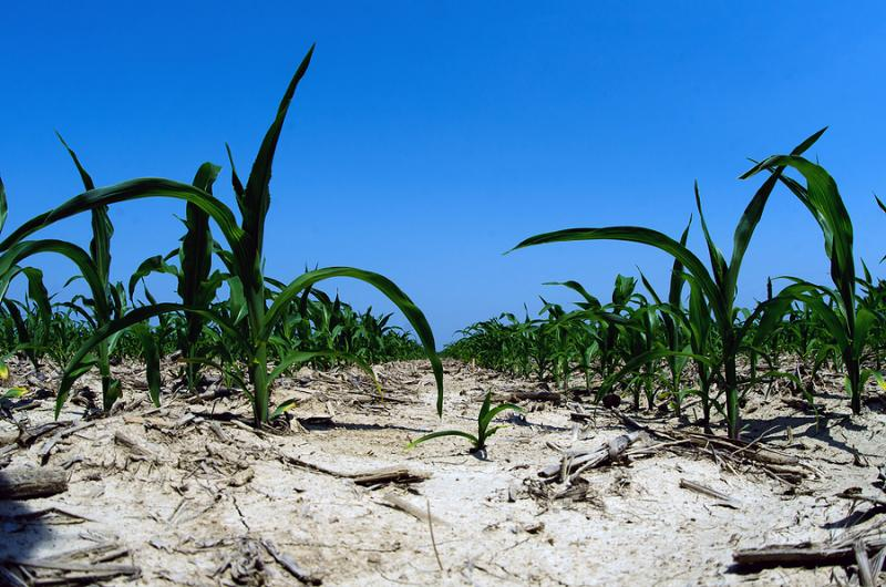 Much of the country's corn crop is suffering from the widest drought since 1956.