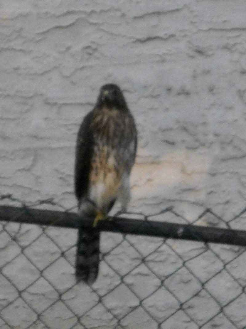 Photo from listener Kathy who says she's been putting water out for a family of 5 falcons living on her block.