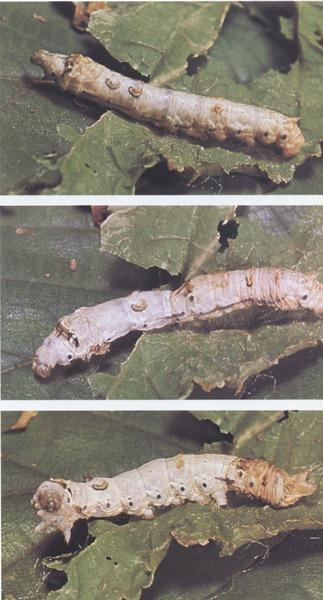 Silk worms molting. (Photos used in Erin Dahl's Nerd Nite KC presentation.)