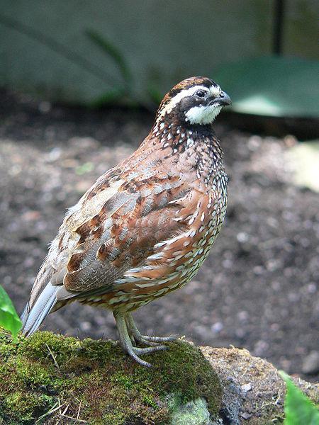 An adult male bobwhite quail.