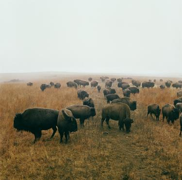 Bison at Maxwell Game Preserve, Roxbury, Kansas