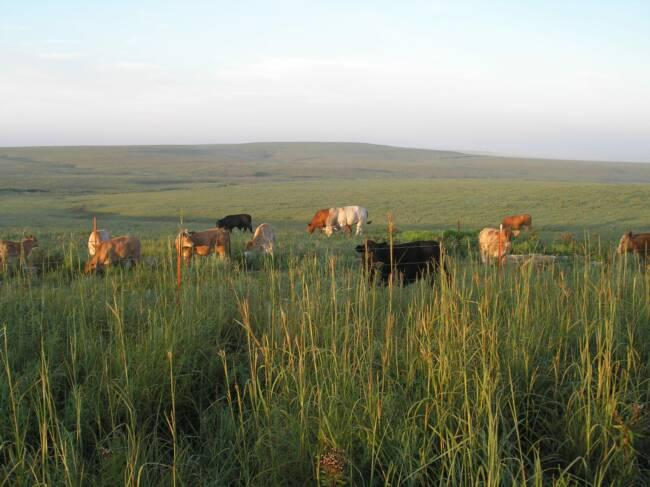 Cattle grazing in the Flint Hills