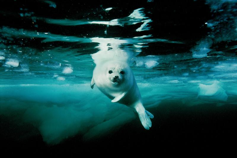 Harp Seal pup making a first swim in Gulf of St. Lawrence, Canada.
