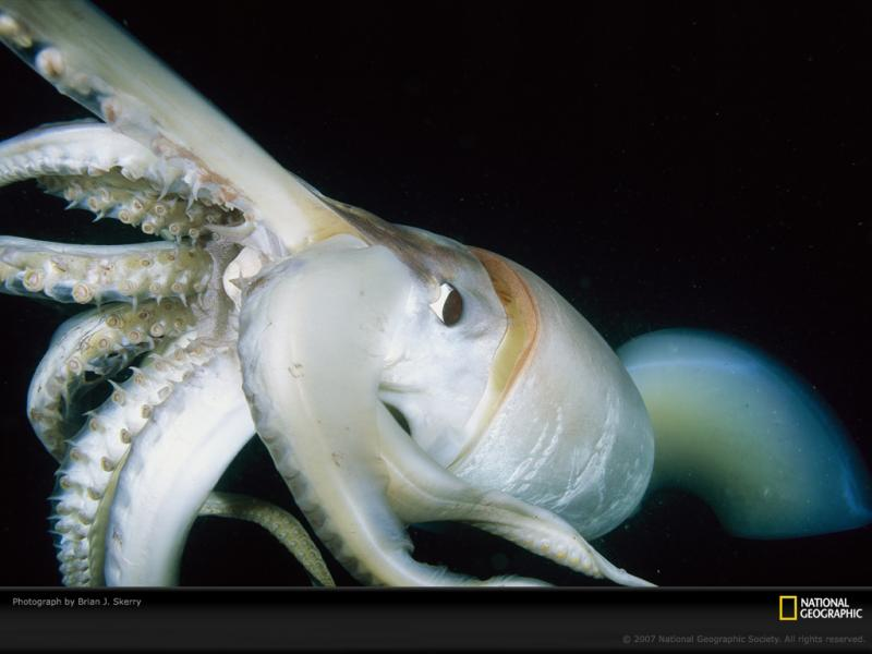 Close-up of a Humboldt Squid