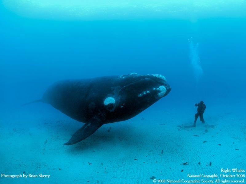 Southern Right Whale and diver