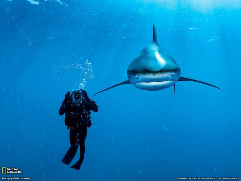 Oceanic Whitetip shark and biologist