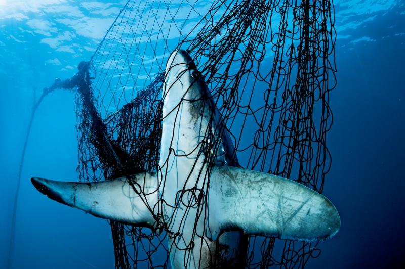 Thresher Shark dead in gill net