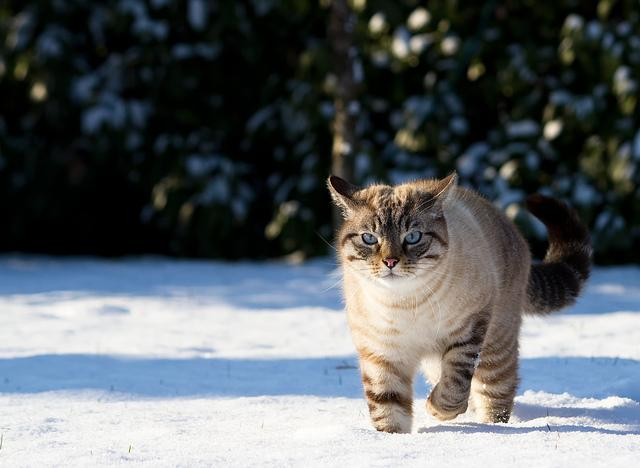 A cat walks in the snow.