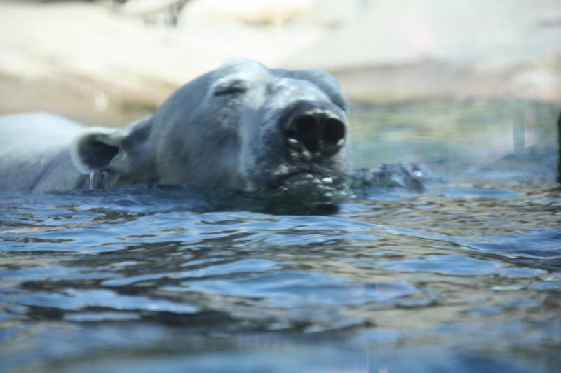 The bear's water is kept at 65 degrees, and they'll have cooled space indoors in the summer.