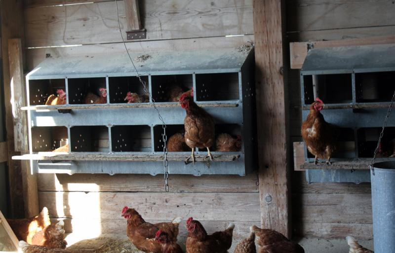 The hens on Mark Tjelmeland's farm lay eggs in nest boxes. A new bill would require all egg operations to provide hens with a place for nesting.