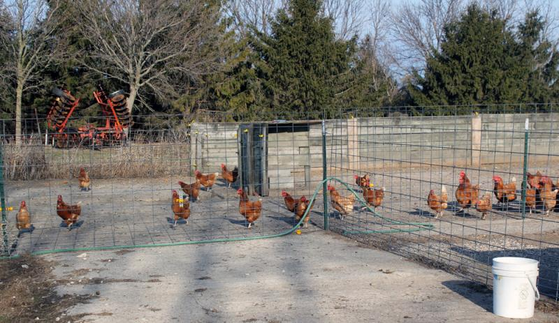 After a winter spent mostly indoors, the hens head out into their three acre pasture at Mark Tjelmeland's farm in McCallsburg, Iowa.