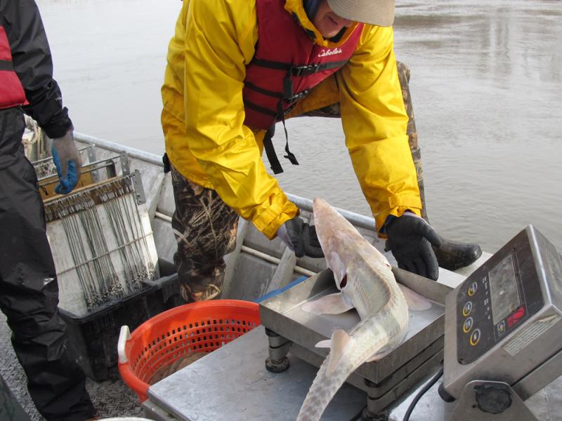 Scott Luedtke of Lincoln, Neb., weighs a Pallid Sturgeon just pulled from the Missouri River. Wild pallids must be large enough for reproduction to be part of the restocking effort.
