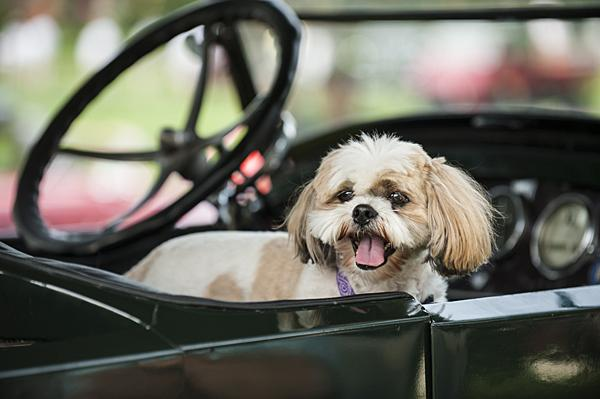 Sadie, a shih tzu, peeks out from the passenger seat of Rex Russell's 1919 Stanley Steamer.