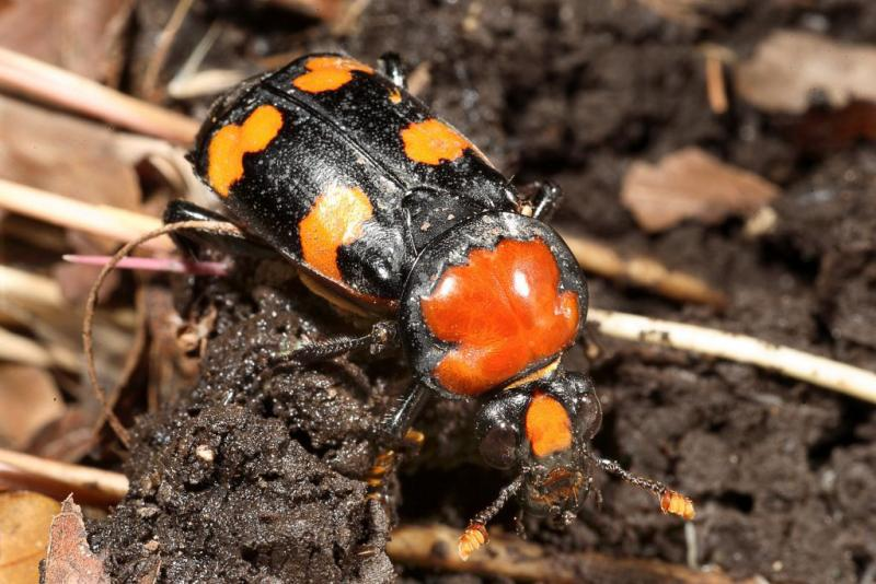 American burying beetles eat carrion. When they are ready to mate, they find a small dead animal and bury it in an underground nest to feed their young.