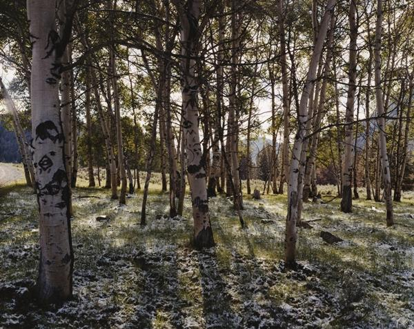 Aspens Carved by Sheep Herders, Fisher Creek, White Cloud Mountains, Idaho, Summer Solstice, 2003; chromogenic print, 72 x 96 inches