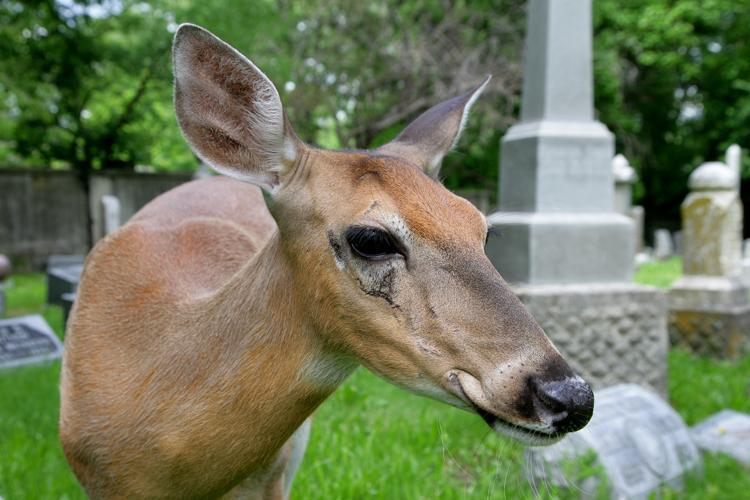 Ella, Elmwood Cemetery's resident deer.