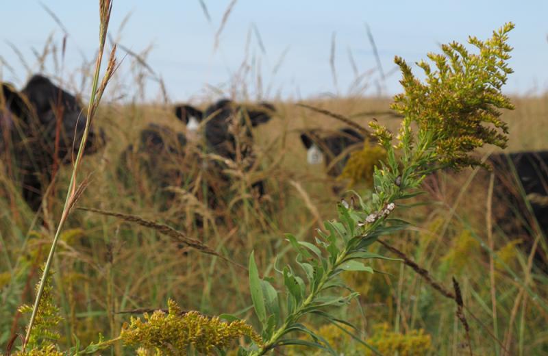 Black calves hide behind tall prairie grass.