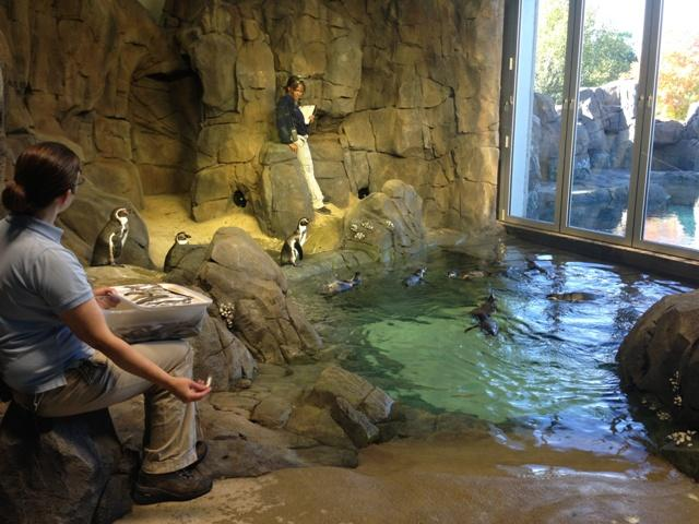 Morning feeding for the Humboldts in the temperate section of the penguin exhibit.