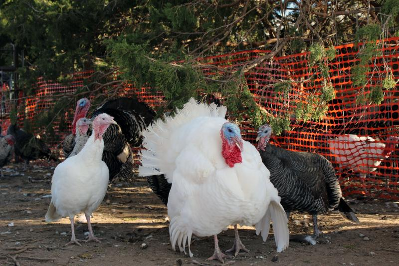 Many breeds of heritage turkeys, like these White Hollands, are rare or even endangered.