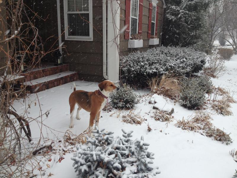 Reporter Peggy Lowe's dog, Harley, loves snow days too.