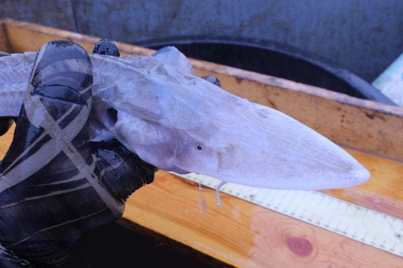 A pallid sturgeon caught during a broodstock collection on the Missouri River, about 20 miles away from Liberty, Mo.
