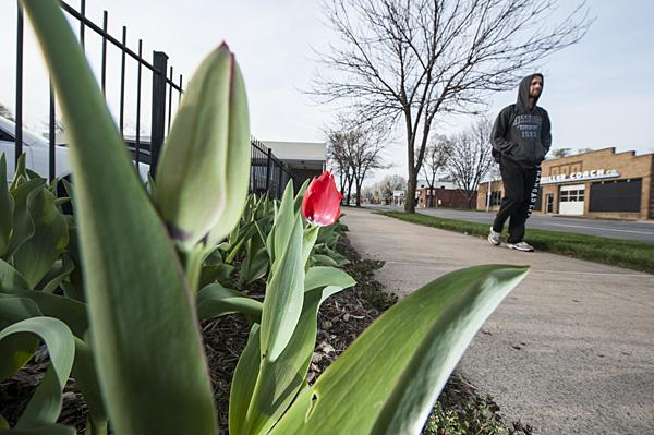 The Tulips on Troost program has struggled in recent years, but streets near Rockhurst University reflect the school's continuing participation in the program.