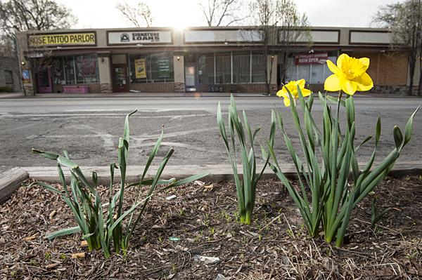 Some businesses are planting flowers other than tulips to sustain beautification efforts. These daffodils are outside King of Kash Signature Loans.