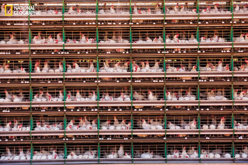At Granja Mantiqueira in Brazil eight million hens lay 5.4 million eggs a day. Conveyor belts whisk the eggs to a packaging facility. Demand for meat has tripled in the developing world in four decades, while egg consumption has increased sevenfold.