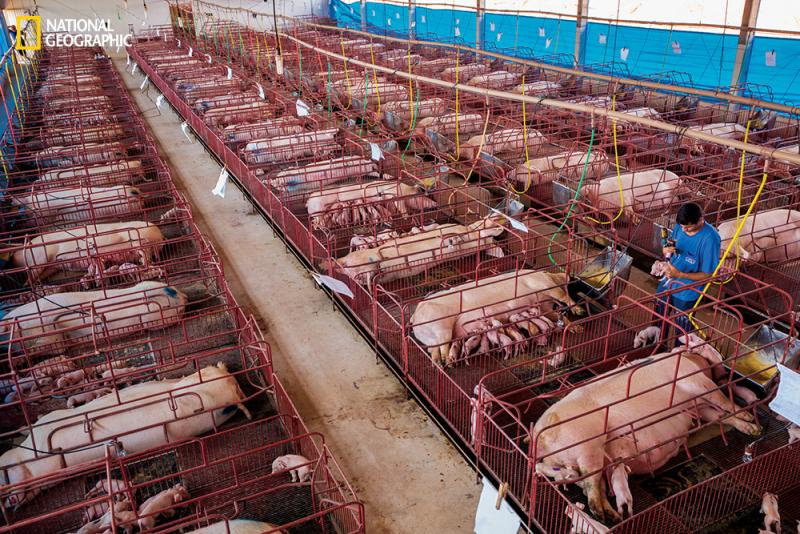 At the Nutribras pig farm in Mato Grosso, Brazil, sows are confined to sectioned crates that allow a mother to suckle her piglets without accidentally crushing them.