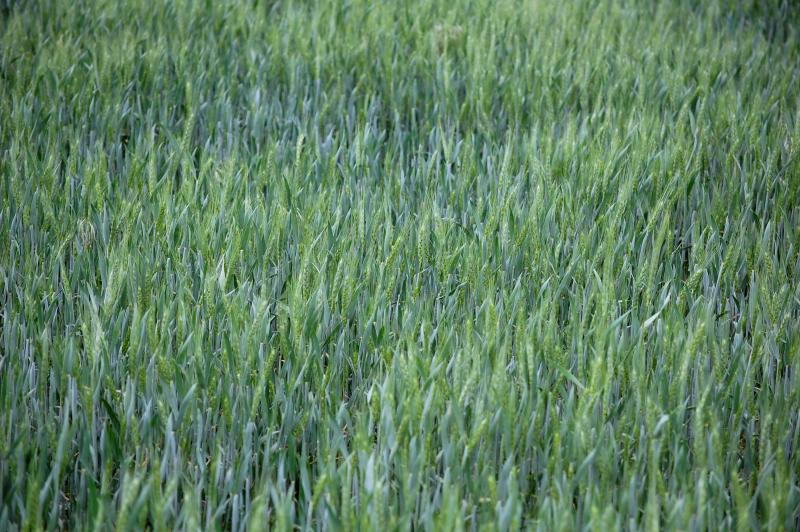 Haarberg's field of winter wheat is thinned in patches, thanks to drought stress.