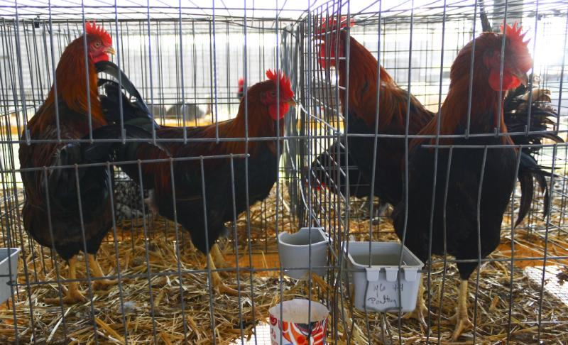 Roosters wait to be judged at the Wyandotte County Fair.